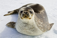 Weddell Seal(leptonychotes Wed...