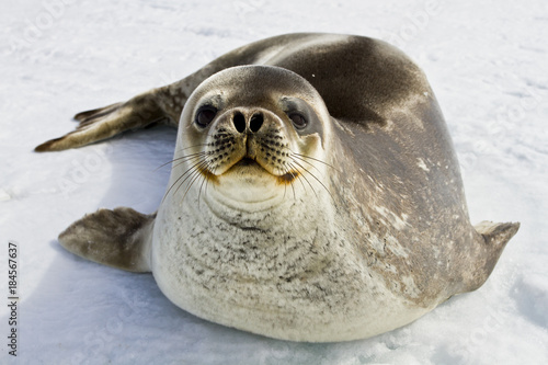 Poster Antarctica Weddell seal(leptonychotes weddellii)resting on the ice of Davis sea