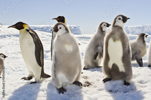 Tuinposter Pinguin Almost adult Chicks the Emperor penguin(aptenodytes forsteri) colony on the ice of Davis sea