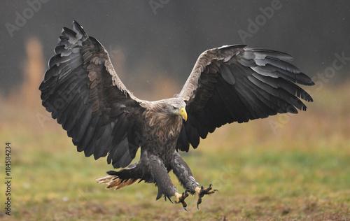 In de dag Eagle White tailed eagle (Haliaeetus albicilla)