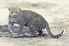 Lone Leopard Walking And Hunti...