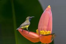 Olive Backed Sunbird, Yellow B...