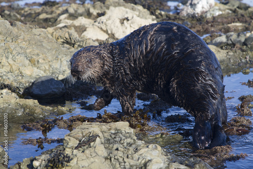Photo  sea otter which walks along shallow water to the water on a winter sunny day
