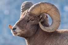 Bighorn Ram During Rut In Yell...