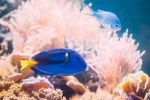 Blue Tang Fish Paracanthurus H...