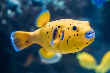 Yellow Blackspotted Puffer Or Dog-faced Puffer Fish Arothron Nigropunctatus Swimming In Water.