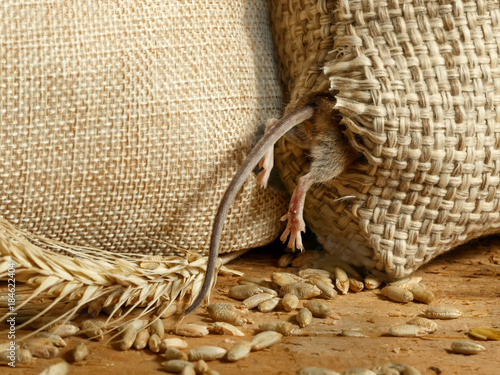 closeup the vole mouse gets into a hole in the sack of grain in the  storehouse