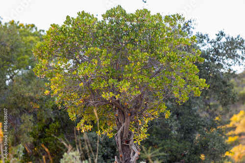 Photo Strawberry Tree (Arbutus Unedo)