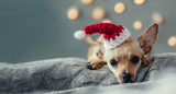 Fototapeta Zwierzęta - Christmas dog lying down on decorated  living room. Winter vacation concept, domestic pets on holidays