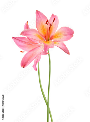 In de dag Dahlia A lily flower decorating