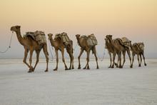 Camel Caravans Carrying Salt B...