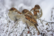 Three Sparrows On The Bushes