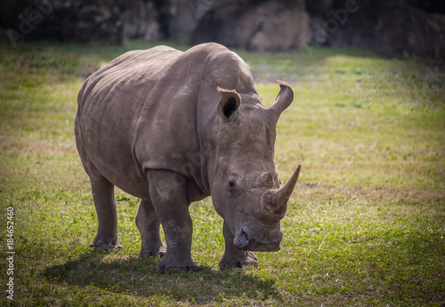 Fényképezés  adult rhinoceros