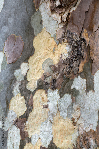 Fotografia, Obraz  Bark and trunk of a London plane tree,