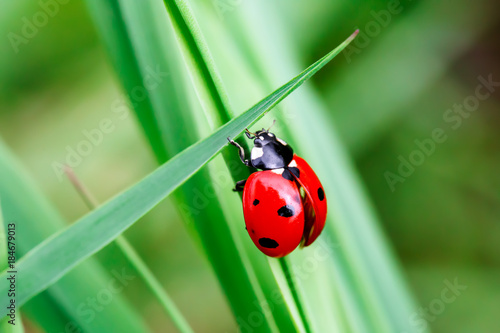 Obraz na plátne Macro photo of Ladybug in the green grass