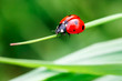 Leinwandbild Motiv Macro photo of Ladybug in the green grass. Macro bugs and insects world. Nature in spring concept.