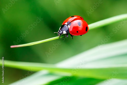 Fotobehang Lente Macro photo of Ladybug in the green grass. Macro bugs and insects world. Nature in spring concept.