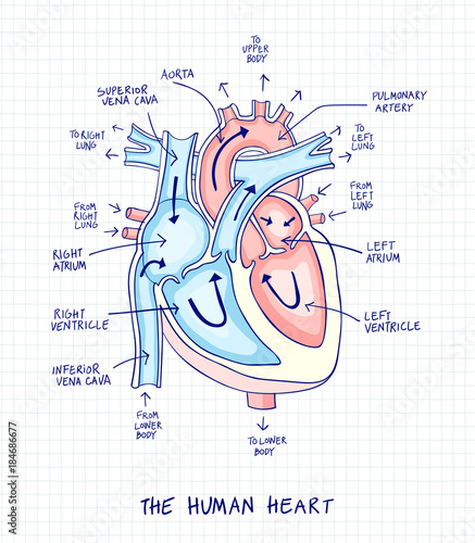 sketch of human heart anatomy ,line and color on a checkered background   educational diagram with hand written labels of the main parts