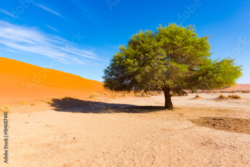 Fotografie, Obraz  Sossusvlei Namibia, scenic clay salt flat with braided Acacia trees and majestic sand dunes