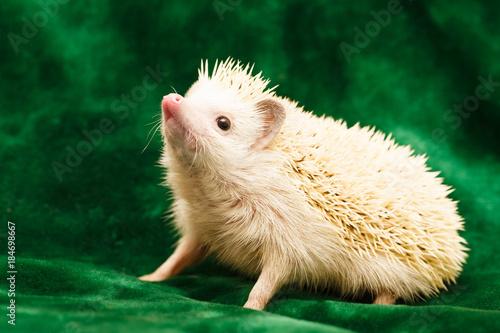 Fotografie, Obraz  African hedgehog at home