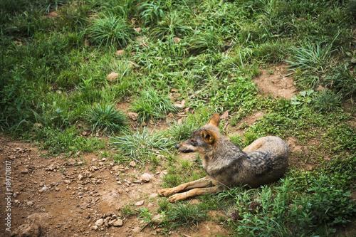 Foto  Iberian wolf resting