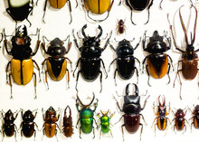 Collection Of Beetle With Pins. Insect Collection Of Entomologist. A Rare Collection Of Beetles In A Showcase. Mauritius. La Vanille