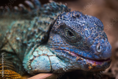 Blue Iguana For Sale : Iguana care sheet reptiles by mack