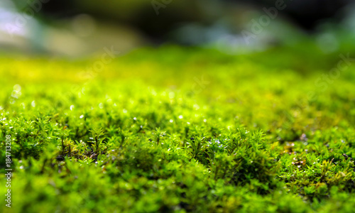 Fototapeta Freshness green moss growing on floor with water drops in the sunlight obraz