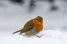 Christmas Style Robin (Erithac...