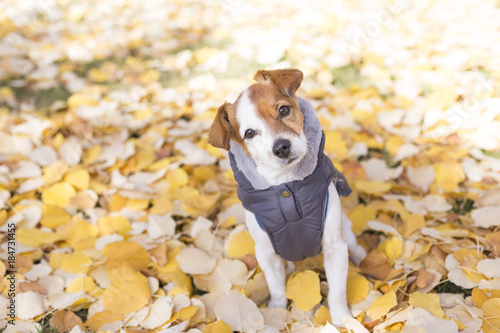 cute small dog wearing a grey coat and looking at the camera Canvas Print