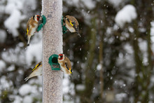 Goldfinches (Carduelis Carduel...