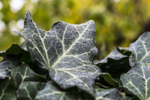 Ivy Leaves With Dew And Raindrops