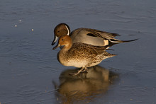 Pair Of Pintail Ducks (Anas Ac...