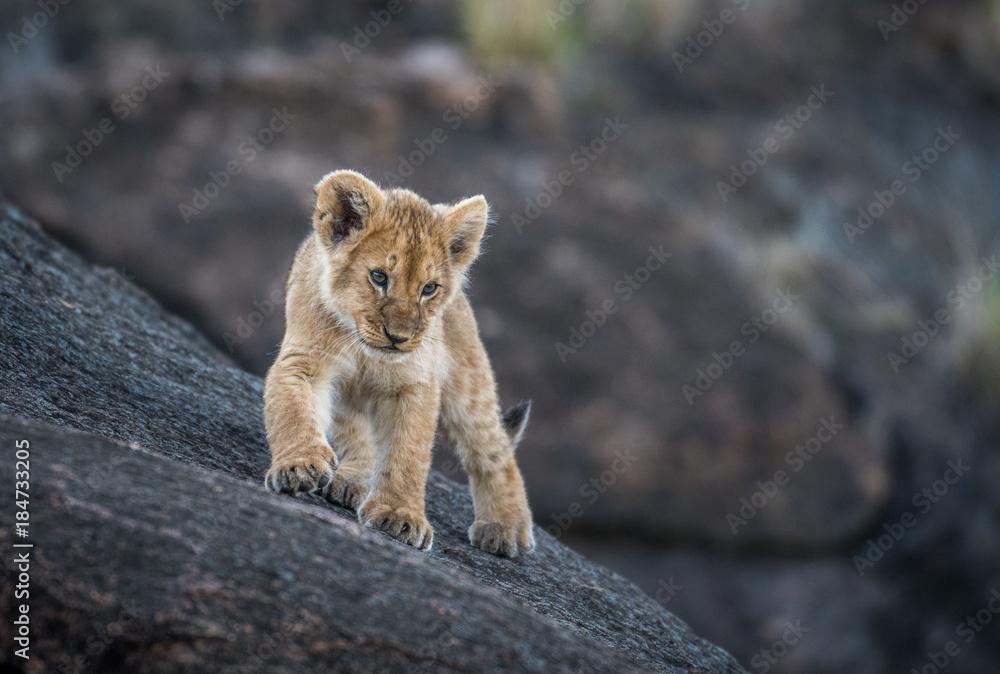 Lion cub on a rock