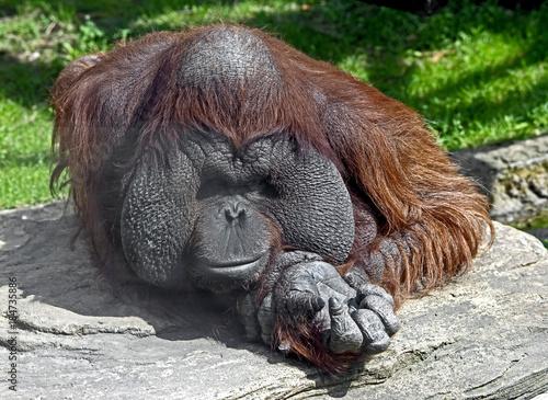 Bornean orangutan. Latin name - Pongo pygmaeus abelii Wallpaper Mural