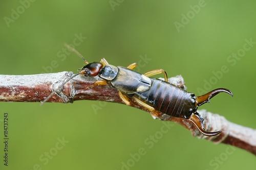 Fotografie, Obraz  Common European earwig, Forficula auricularia