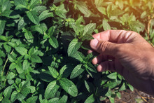 Farmer Picking Peppermint Leav...