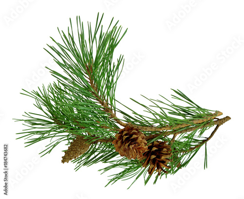 Fotografía pine branch with cones, isolated without a shadow