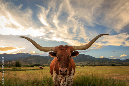 In de dag Texas Texas Longhorn Steer in a sunset field.