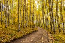 Autumn Aspen Grove - A Unpaved...