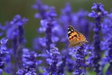 ブルーサルビアと蝶(ヒメアカタテハ) Blue Salvia And Painted Lady