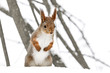 young red squirrel standing on white snow in winter park against blurry tree background