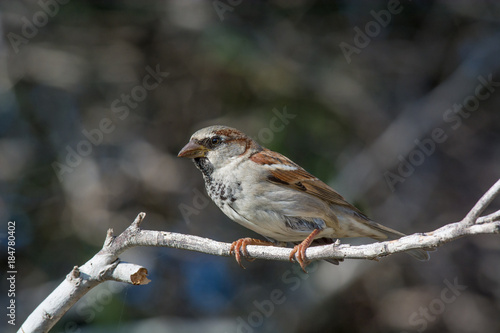Cuadros en Lienzo House Sparrow Passer domesticus sitting on a branch