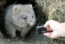 A Curious Common Wombat (Vomba...