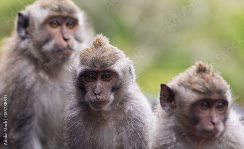 A trio of Balinese long tail monkies, or macaques (Macaca fascicularis) in the w Wallpaper Mural