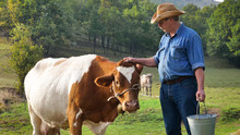 A Farmer Breeds And Cows His C...