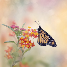Monarch Butterfly On Tropical ...