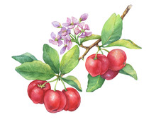 Branch Of Ripe Acerola (Barbados Cherry,  Thai Cherry, Malpighia Glabra) With Berries, Flowers. Red Acerola -tropical Fruit. Watercolor Hand Drawn Painting Illustration Isolated On White Background.