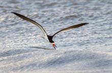 Black Skimmer (Rynchops Niger)...