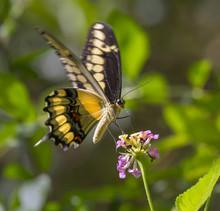 King Swallowtail Or Thoas Swallowtail (Papilio Thoas) Feeding On Lantana. High Island, Texas, USA.